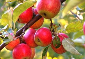 Особенности выращивания яблонь и хранения урожая