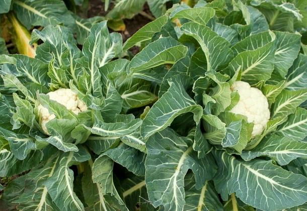Ошибки при выращивании цветной капусты 67
