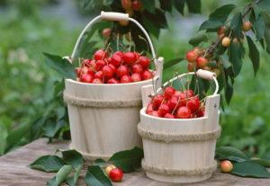 Посадка и уход за вишней: подкормка и защита деревьев