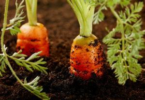 Морковь: агротехника выращивания и условия хранения