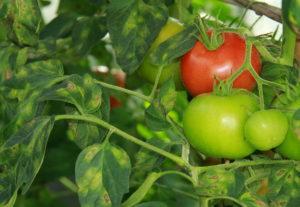 Болезни и вредители томатов: описание и меры борьбы