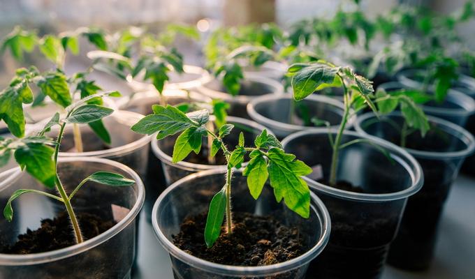 Выращивание рассады ели в домашних условиях 29