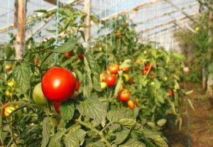 Посадка и уход за томатами: лучшие сорта и календарь работ