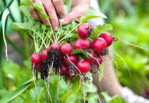 Как правильно выращивать редис в открытом грунте