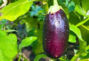 Выращивание баклажанов и список лучших сортов