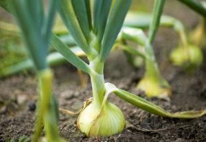Лук репчатый: польза, технология выращивания и лучшие сорта