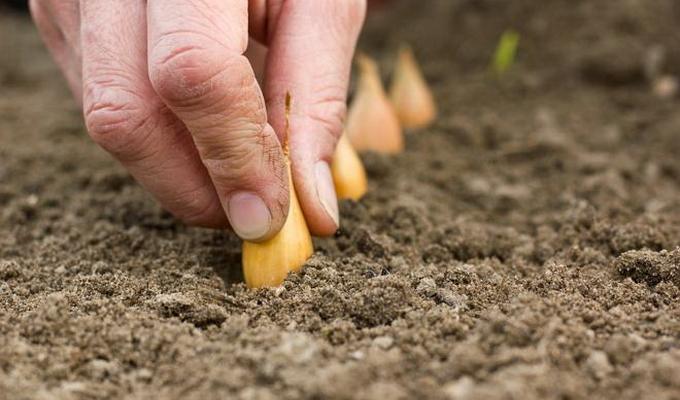 Когда сажать чернушку на севок в открытый грунт 46