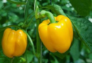 Болгарский перец: польза, выращивание и лучшие сорта