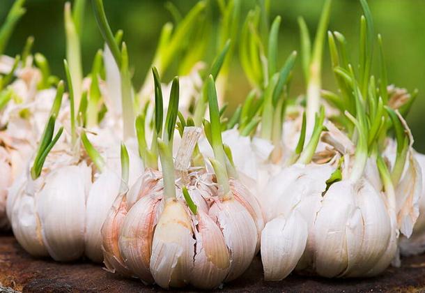 Технология выращивания озимого и ярового чеснока