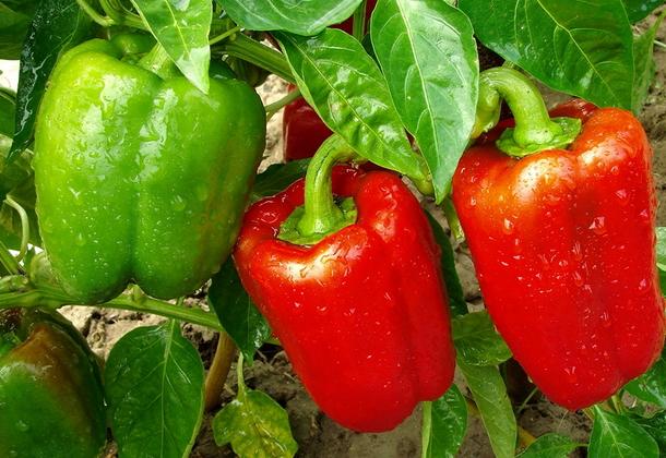 Азы выращивания сладкого перца и описание лучших сортов