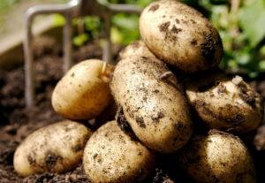 Картофель: подготовка к посадке, выращивание и правила хранения