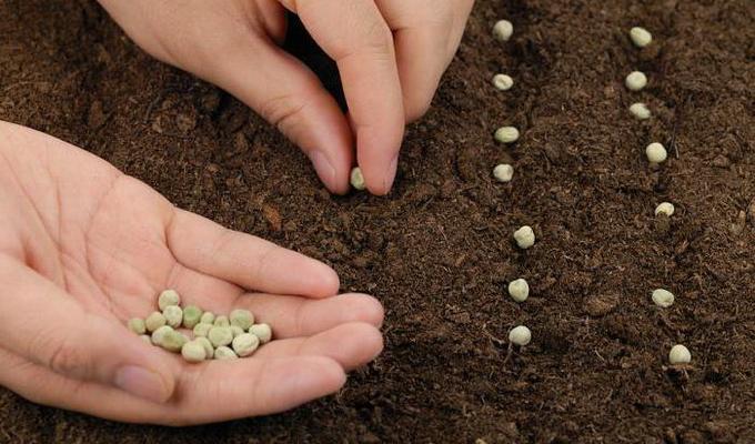 Как правильно сажать фасоль в открытый грунт 11