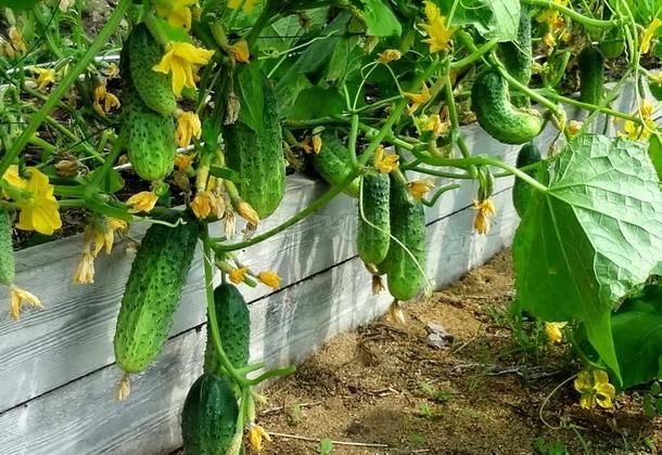 Выращивание огурцов: подготовка семян и календарь работ