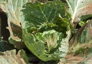 Болезни и вредители капусты: описание и способы борьбы