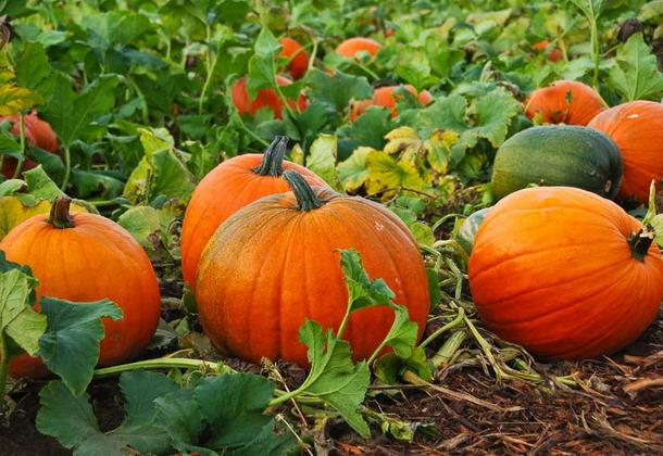Тыква: полезные свойства, лучшие сорта, советы по выращиванию