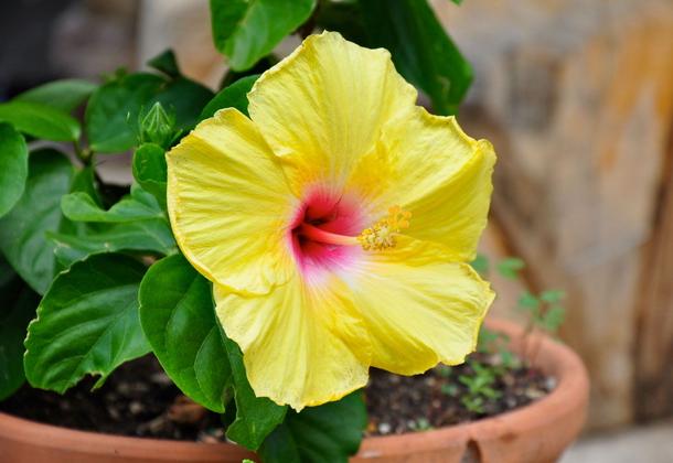 Гибискус: виды и сорта, выращивание дома и в саду
