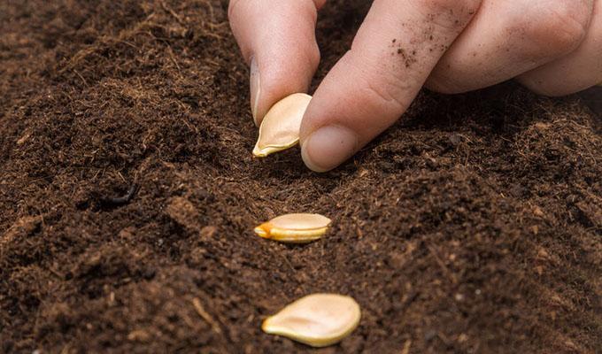 Подготовка семян кабачков к посеву на рассаду в домашних условиях 86