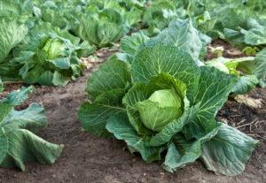 Капуста белокочанная: лучшие сорта и агроприемы выращивания