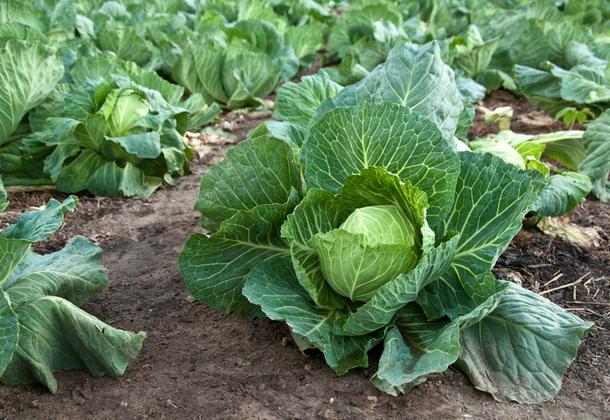 Капуста агротехника выращивания