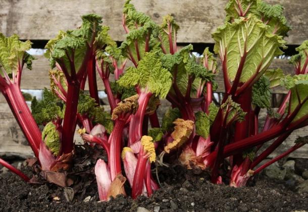 Ревень: выращивание и целебные свойства