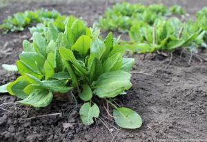 Щавель: агротехника выращивания и лечебные свойства