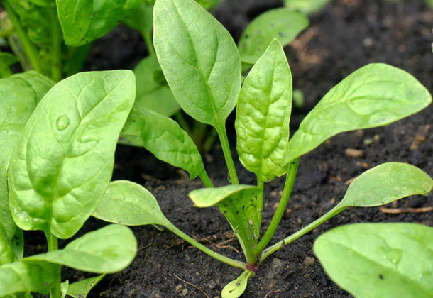 Шпинат: условия и технология выращивания