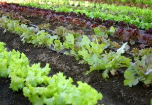 Растение салат: разновидности и сорта