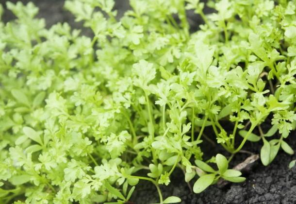 Кресс-салат: агротехника выращивания и полезные свойства