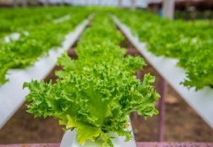 Выращивание салата и хранение урожая