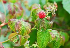 Болезни и вредители малины: описание и меры борьбы