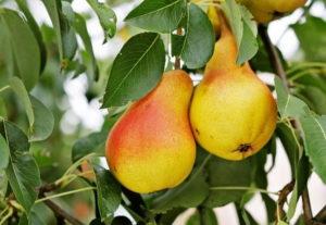 Груша: технология выращивания и лучшие сорта