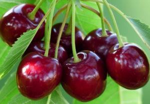 Черешня: агротехника выращивания и лучшие сорта