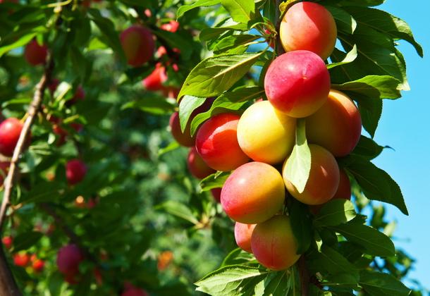 Слива: советы по выращиванию и лучшие сорта