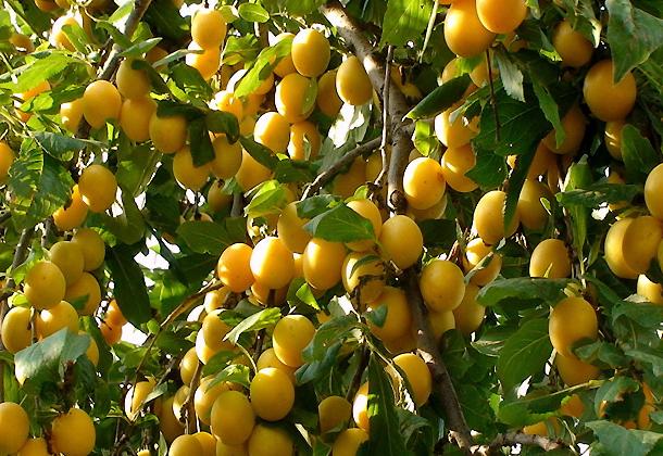 Алыча: правила выращивания и лучшие сорта