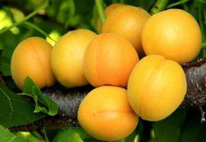 Абрикос: агротехника выращивания и лучшие сорта