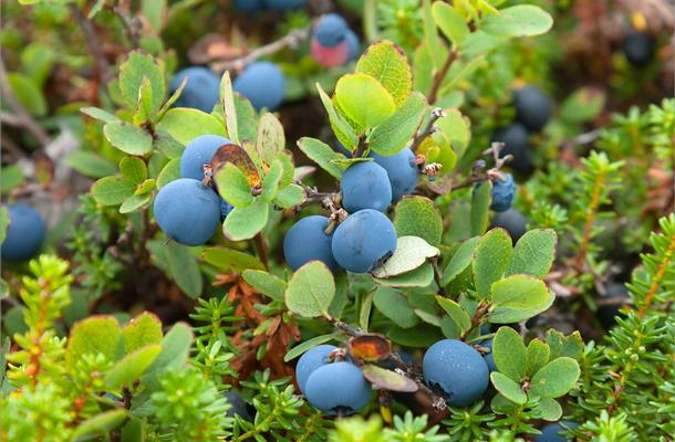 Голубика: правила посадки и выращивания