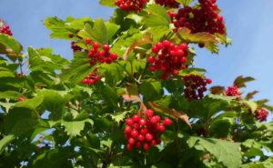 Калина: описание и технология ухода при выращивании