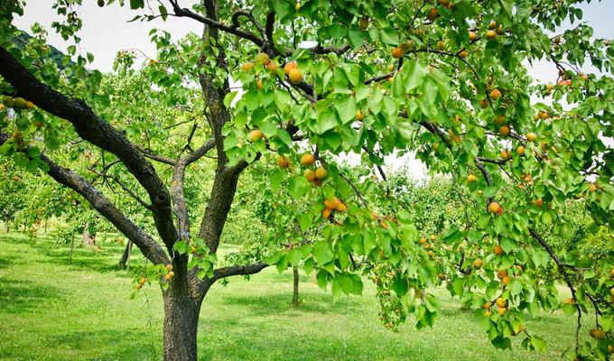 Выращивание абрикосов в средней полос 21
