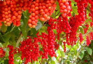 Лимонник китайский: описание, выращивание и лечебные свойства