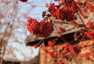 Рябина: выращивание и полезные свойства ягод