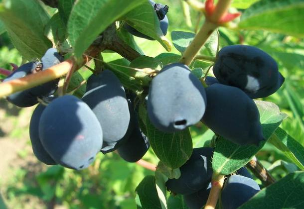 Жимолость съедобная: польза, выращивание и уход