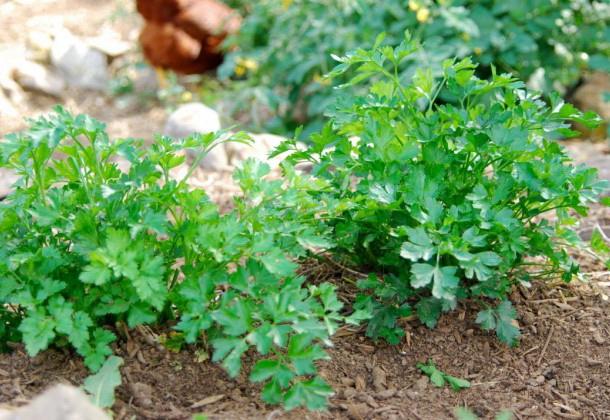 Растение петрушка и его выращивание