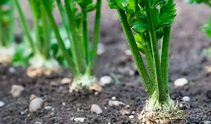 Пастернак овощ выращивание 59