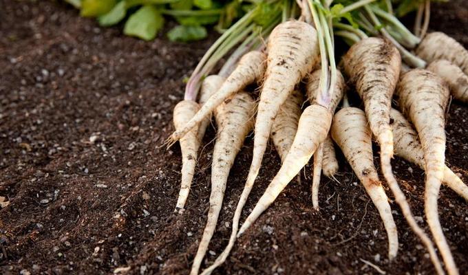 Пастернак овощ выращивание 83