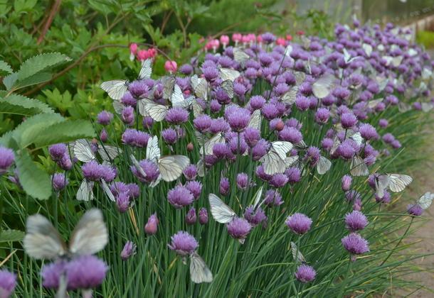 Зелёный лук шнитт и его выращивание
