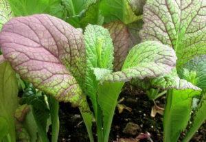 Горчица салатная листовая и её выращивание