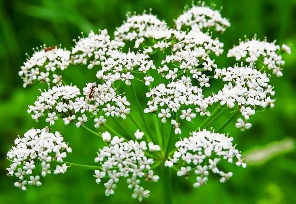 Лекарственное растение анис и его выращивание