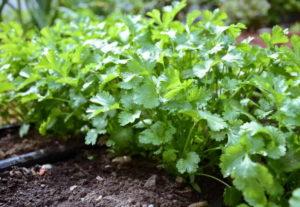 Кориандр: лечебные свойства и выращивание