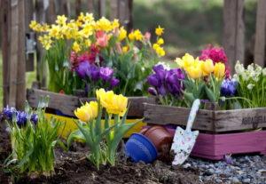 Первые весенние цветы крокусы
