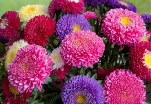 Цветок астра и его выращивание